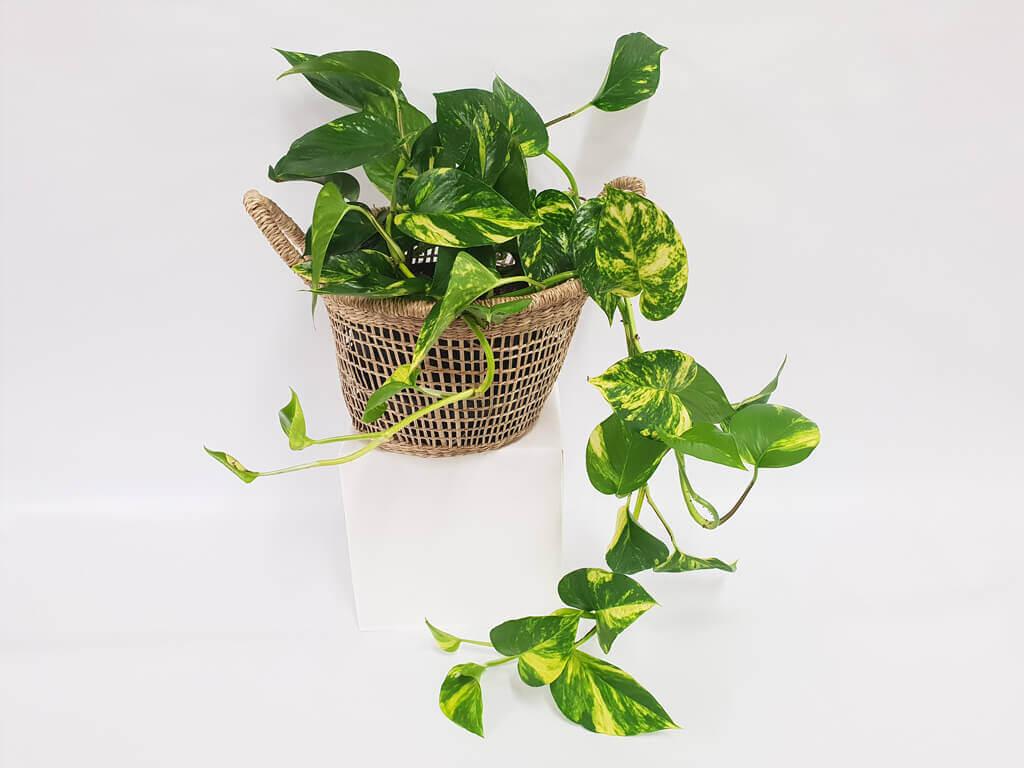 Devil's Ivy Indoor Plants