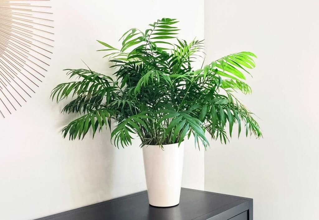 Parlor Palm Plants