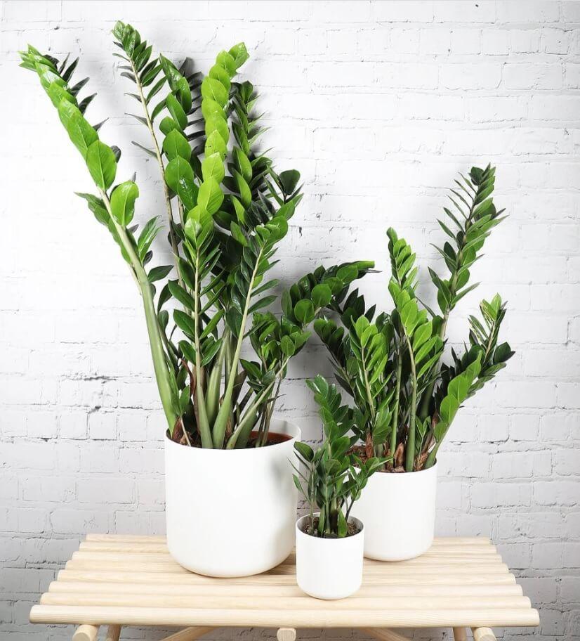 ZZ Plant Plants