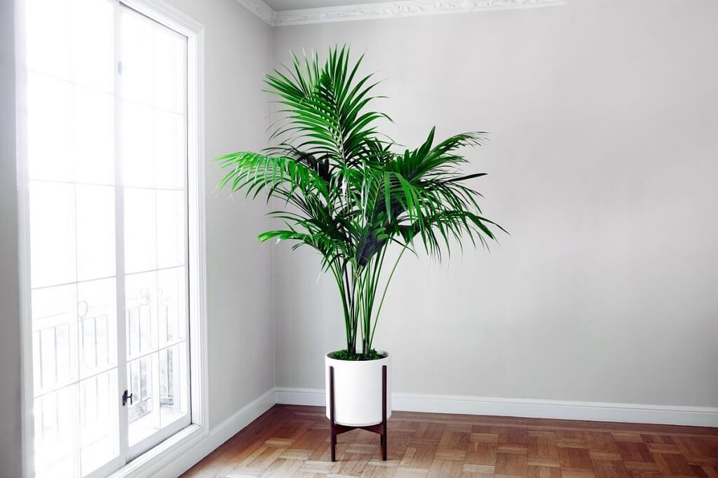 Kentia Palm Plants
