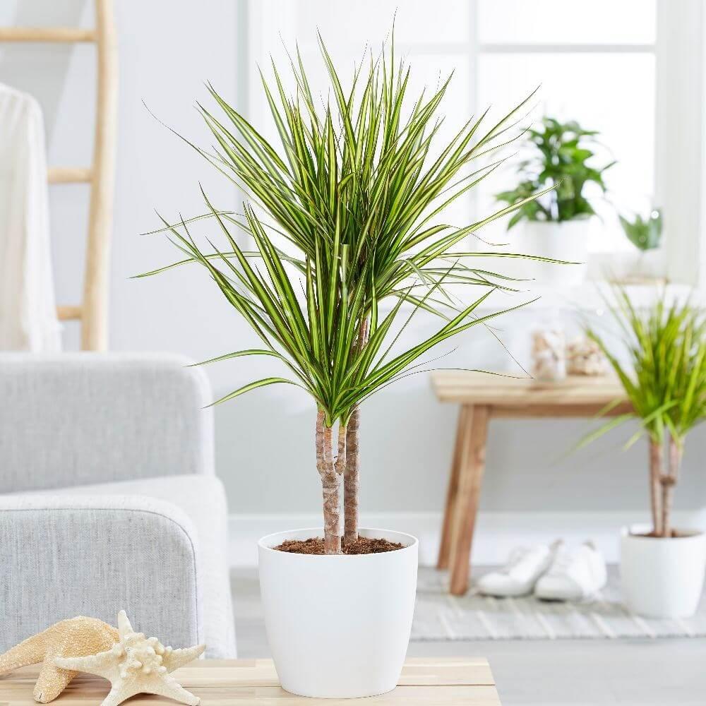 Dragon Tree Indoor Plants