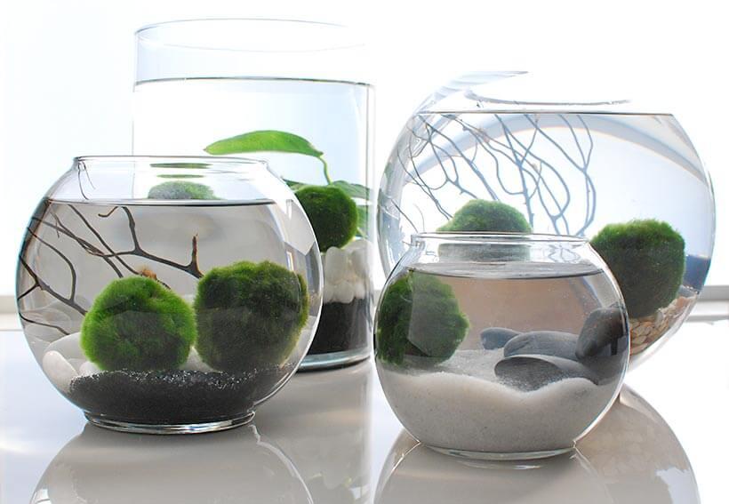 Marimo Moss Ball Plants